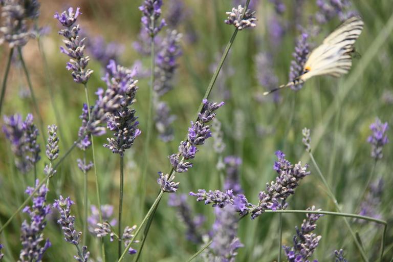 Kräuter: Lavendel