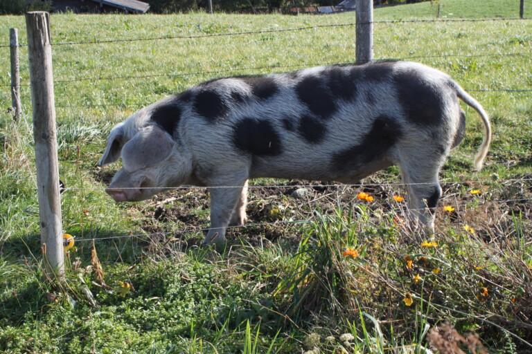 Am Boarhof leben auch die Schweine glücklich